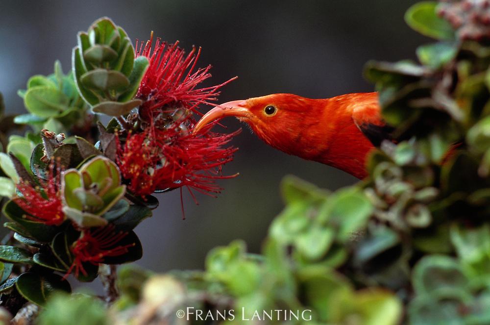 I'iwi, Vestiaria coccinea, feeding on 'Ohi'a lehua flowers, Metrosideros polymorpha, Maui, Hawaii