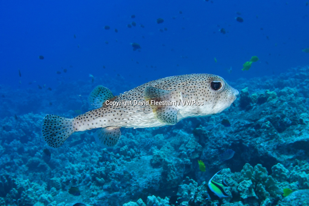 The spotted porcupinefish, Diodon hystrix, feed primarily at night on hard shelled invertebrates.  Hawaii.