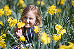 © Licensed to London News Pictures. 05/04/2018. London, UK. Olivia Morgan Schefermann, aged 5 plays in the daffodils in Green Park during sunny weather in London today. Photo credit: Vickie Flores/LNP