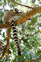 A ring-tailed lemur in a tree, Nahampoana Reserve, Fort Dauphin, Madagascar.