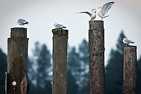 JEROME A. POLLOS/Press..Two seagulls fight for a spot Monday on a piling in the Spokane River near North Idaho College.