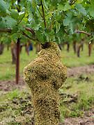 Moss-Laden Vine
