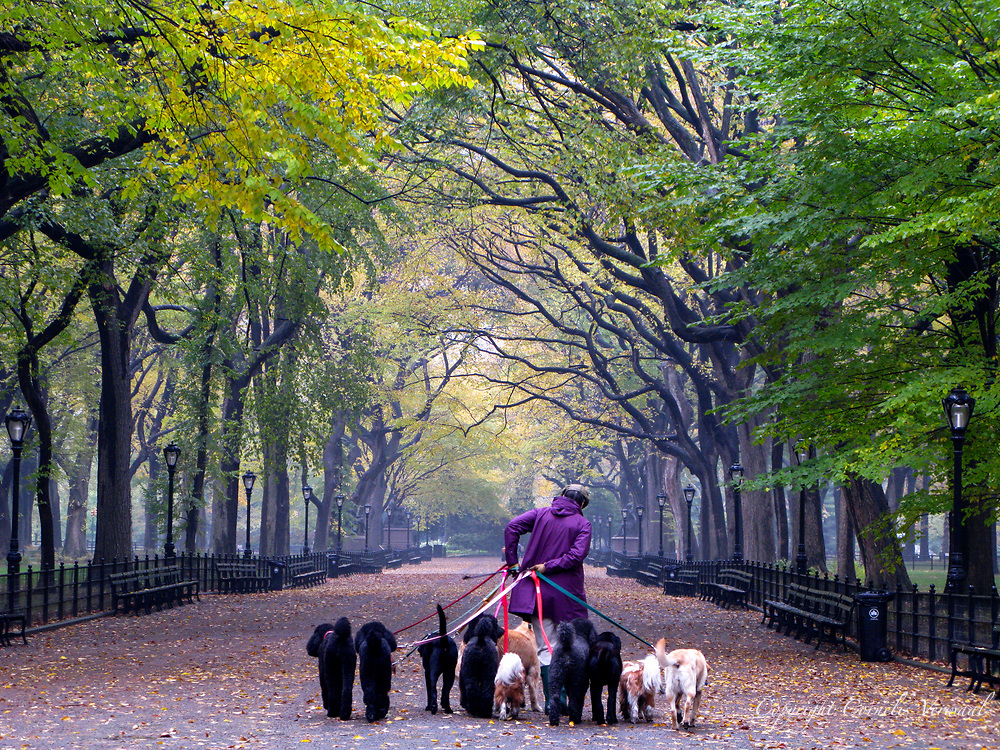 Dog walker at the Mall in Central Park, New York City.