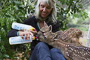 Black-tailed Deer<br /> Odocoileus hemionus<br /> Diane Nicholas, President of Kindred Spirits Fawn Rescue, bottle-feeding three-day-old orphaned fawns<br /> Kindred Spirits Fawn Rescue, Loomis, California