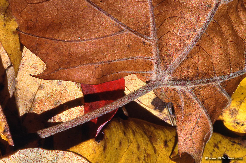 A close-up picture of fall leaves.