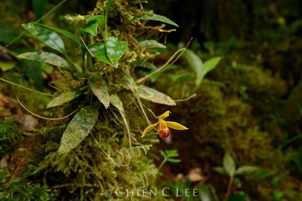 Bulbophyllum sp. (sect. Pedilochilus). Although distributed throughout the tropics worldwide, orchids of the genus Bulbuphyllum reach their highest diversity in the cool montane forests of New Guinea, with over 600 recorded species.