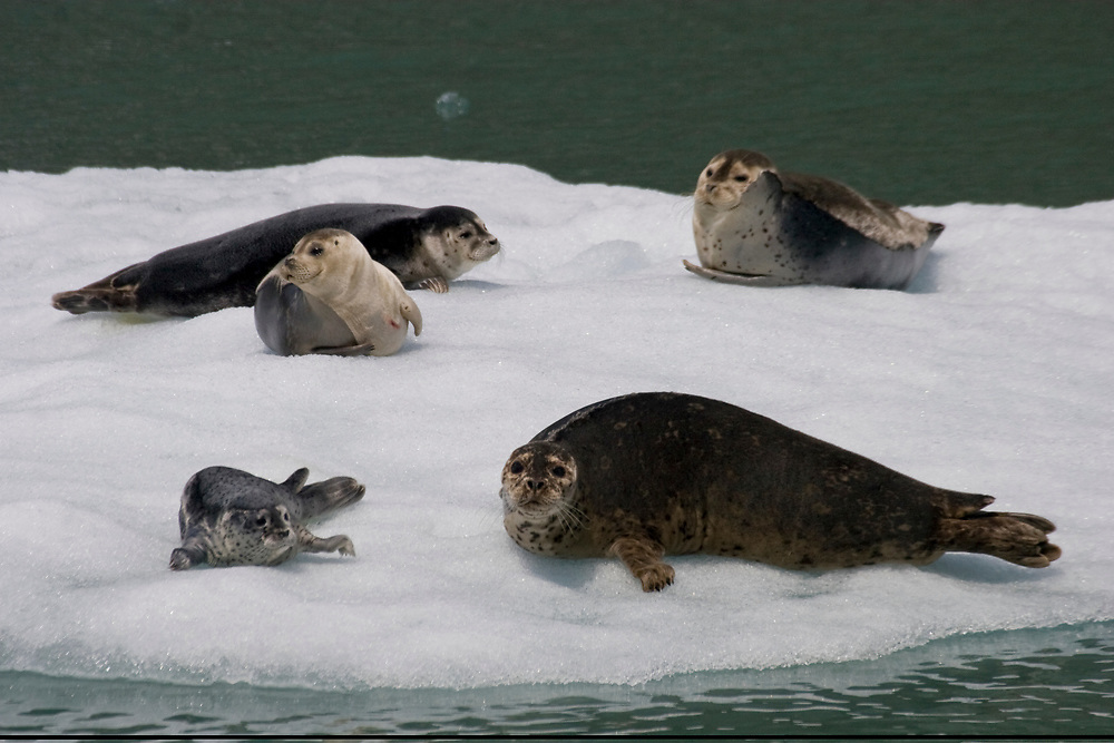 A harbor seal (Phoca vitulina) pup and four adults haul out on an ice berg in Tracy Arm.