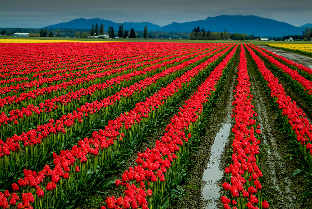 A flower farm field in the Skagit Valley of Western Washington, USA .