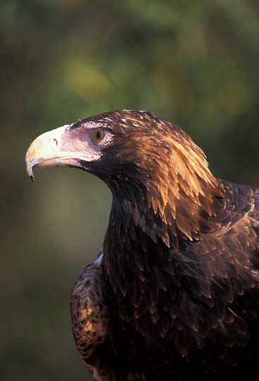 Wedge-tailed Eagle, (Aquila audax) Australia.