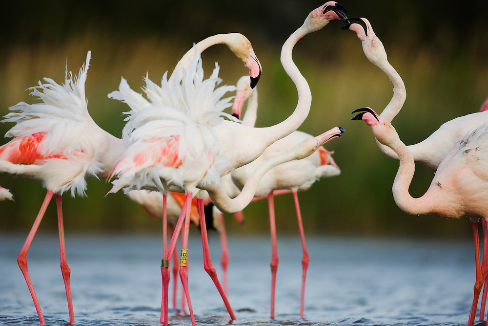 Greater Flamingos (Phoenicopterus roseus) fighting, Pont du Gau, Camargue, France