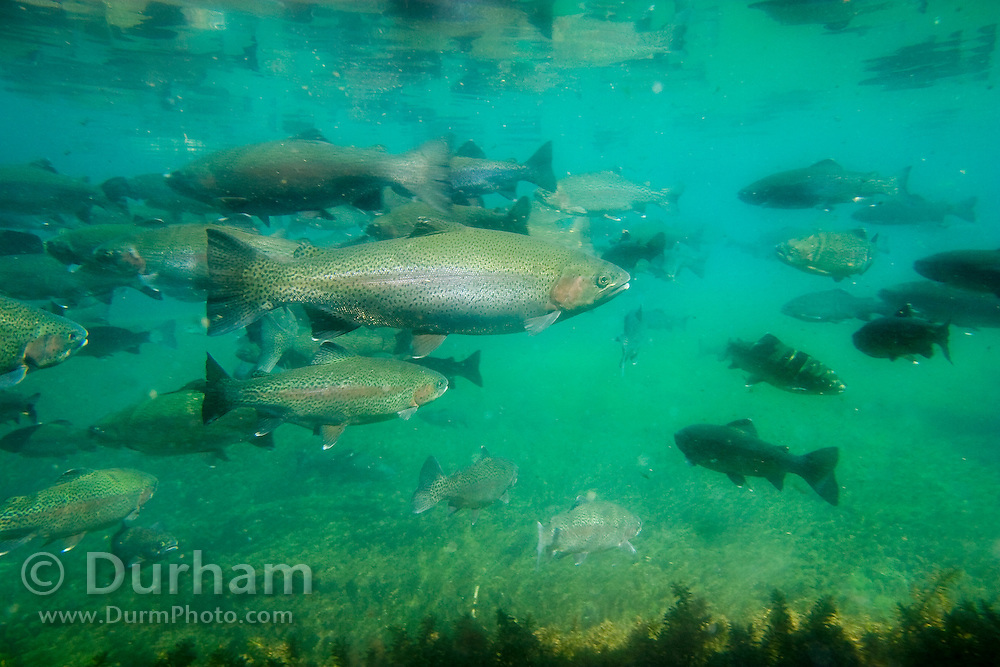 A rainbow trout (Oncorhynchus mykiss) at the Wizard Falls fish hatchery. Deschutes National Forest, Oregon.