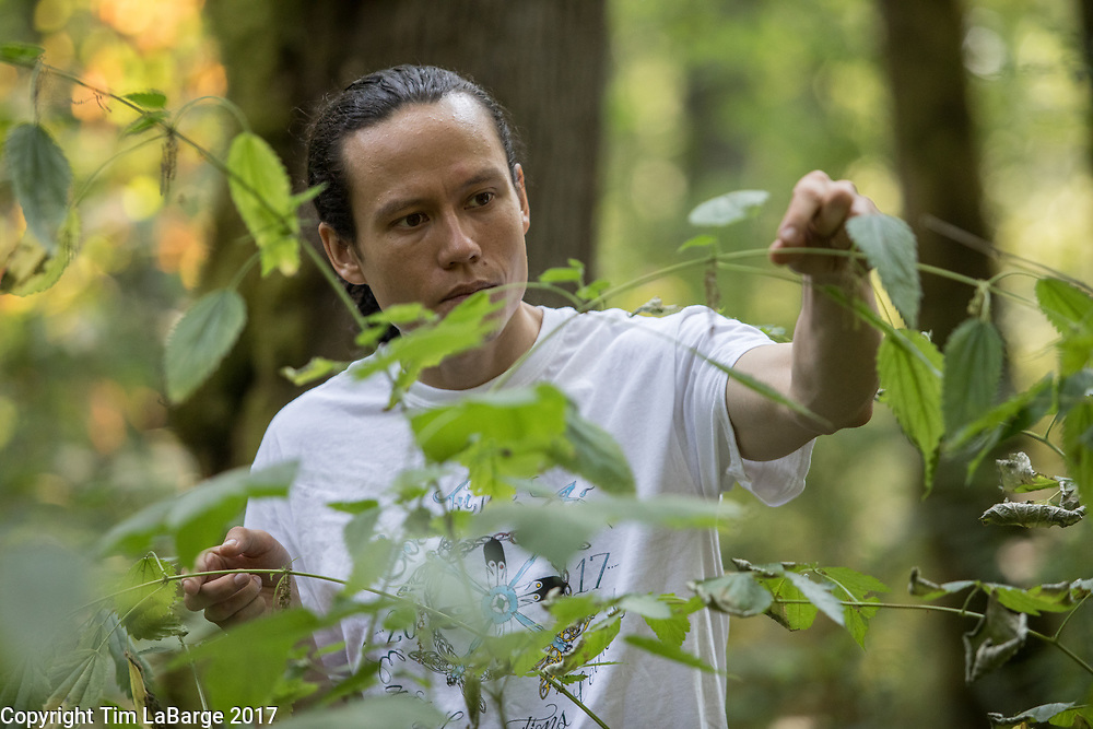 Chris Rempel, intern seed collector, carefully studies a stinging nettle plant at Tryon Creek SNA. Photo © Tim LaBarge 2017