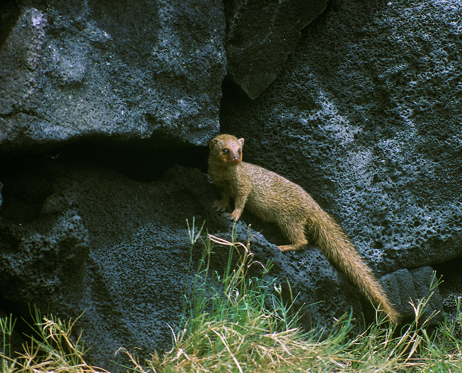 Mongoose (Herpeses auropunctatus); South Kona, Island of Hawaii.