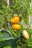 A close up view of organically grown Gold Medal Tomato's on the vine.