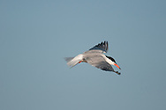 A common tern gliding over the beach at Scarborough Beach State Park in Maine.