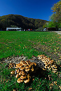 Clump of mushrooms or toadstools in green field, Plitvice National Park, Croatia