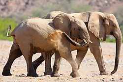 A female and calf desert-adapted elephant (Loxodonta africana) dust after a drink at a water hole ,Skeleton Coast, Namibia, Africa