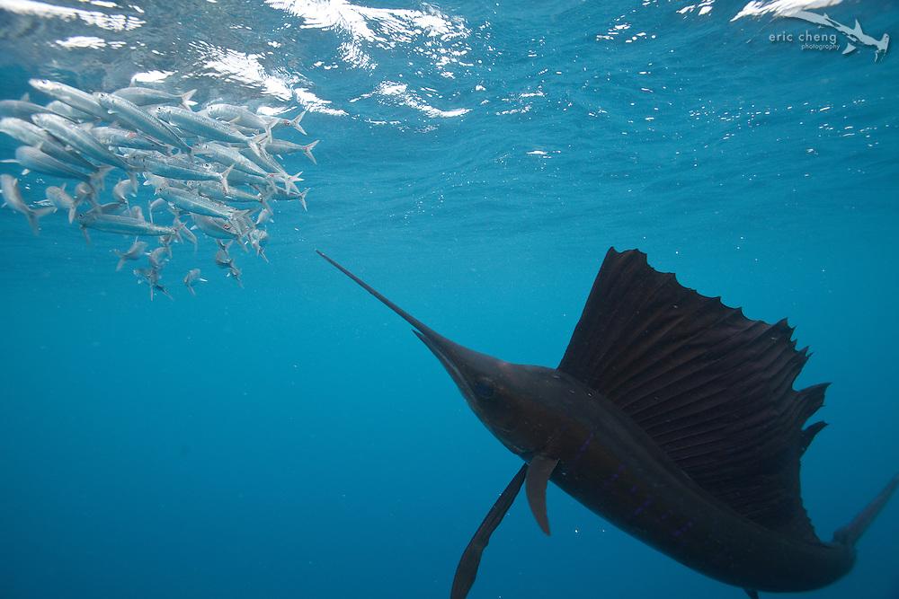Atlantic sailfish (Istiophorus albicans) hunt sardines in Isla Mujeres, Mexico.