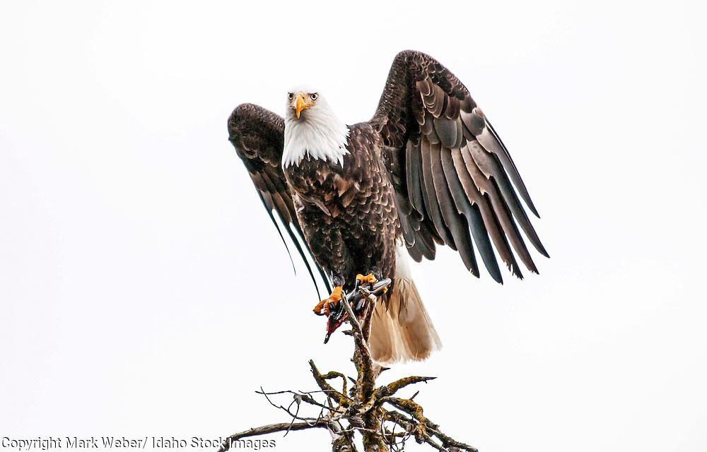 Coeur d' Alene, Bald Eagle feeds on a Kokanee Salmon at Coeur d' Alene Lake near the city of Coeur d' Alene in northern Idaho