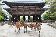 Nandaimon Gate is a large wooden gate with two fierce looking statues overseeing the gate.  The gate marks the approach to Todaiji Temple. Temple visitors will encounter  wild deer from who beg for shika senbei crackers.