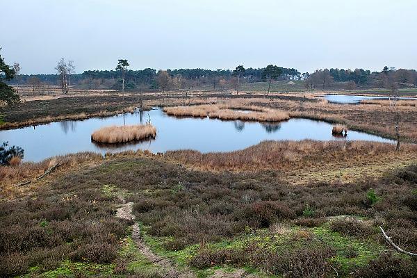 Nederland, Overasselt, 27-11-2013 Staatsbosbeheer heeft 40 hectare bomen in de Overasseltse en Hatertse vennen bij Nijmegen, gemeente Wijchen, gekapt om te voorkomen dat grote delen van dit  natuurgebied droog vallen, verdrogen. Daarbij zijn echter belangrijke archeologische vindplaatsen uit de ijzertijd verstoord en verloren gegaan. De afgelopen decenia is het vennengebied dichtgegroeid. Door de hoge verdamping van het dennenbos bereikt het regenwater de vennen niet meer. Onder de vennen zit een ondoordringbare kleilaag waardoor het ven niet in contact staat met grondwater. Foto: Flip Franssen/Hollandse Hoogte
