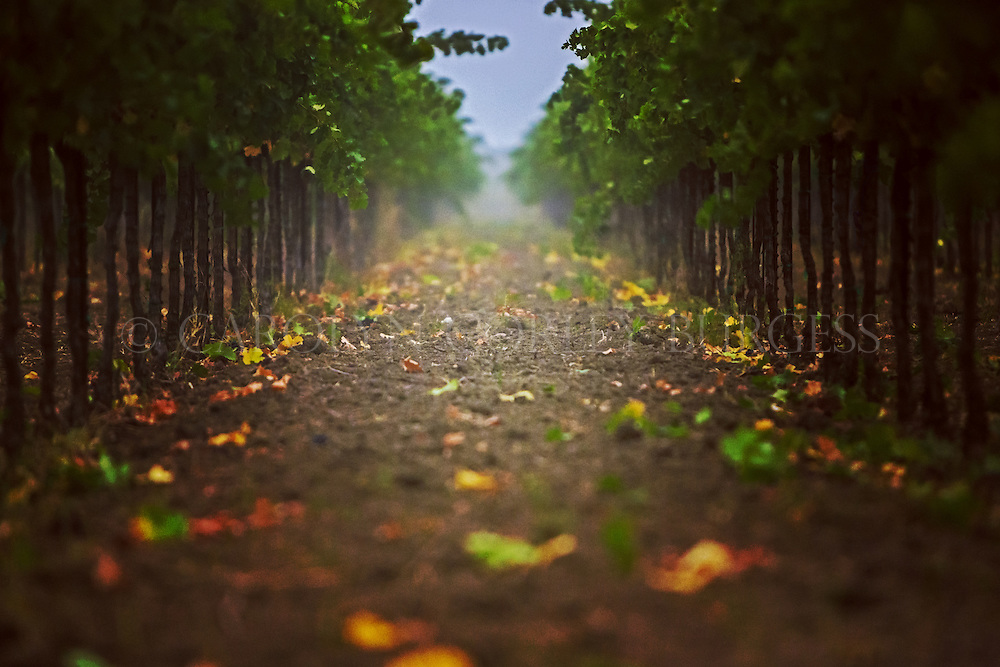 Foggy vineyard row at Swanson Vineyards in Oakville, California after the grapes have been picked.