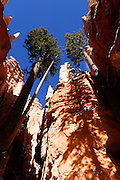 Tall pine trees cast shadows on the towering hoodoos along the Wall Street Trail, which winds through the tall spires that make up the Bryce Canyon amphitheatre in Utah.