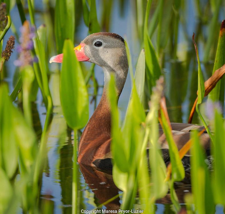 Black-bellied Whistling Duck in pickerel weed,  Dendrocygna autumnalis,   Viera wetlands, Florida