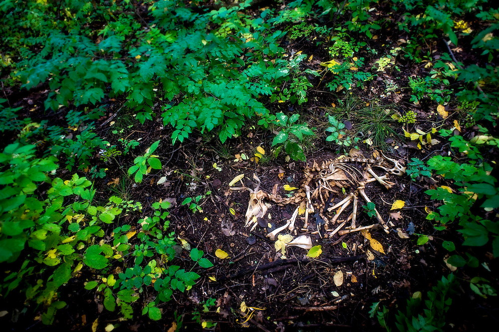 Undisturbed deer bones lay in the woods of Wisconsin.