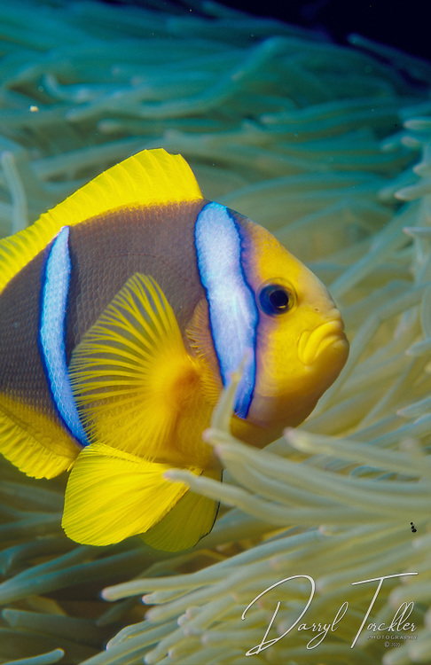 Close-up of an anemone fish off the reefs of Niue Island. South Pacific Ocean.
