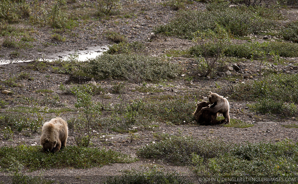 A pair of grizzly bear cubs play while their mother eats berries on the river bar of the East Fork River in Denali National Park and Preserve in Alaska.