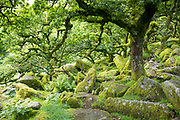 Gnarled old trees and moss-covered rocks in woodland near Princetown on Dartmoor in Devon county, England