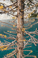 Detail view of a Larch tree next to Inspiration Lake, Enchantment Lakes Wilderness Area, Washington Cascades, USA.