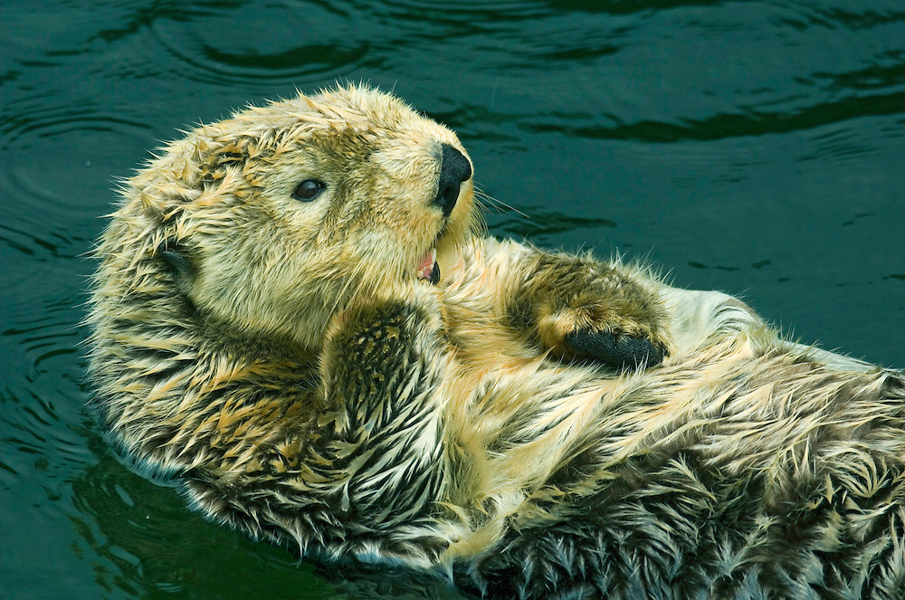 Sea Otter (Enhydra lutris)  Captive