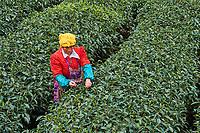 Chine, Province du Sichuan, Mingshan, jardins de thé, cueillette du thé  // China, Sichuan province, Mingshan, statue of Wu Lizhen, tea garden, tea picker picking tea leaves