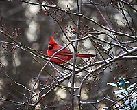 Male Northern Cardinal perched on a vine. Image taken with a Nikon D700 camera and 80-400 mm VR lens (ISO 1600, 400 mm, f/8, 1/250 sec).