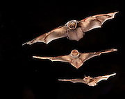A male hoary bat (Lasiurus cinereus) (top) is considerably larger than a female eastern red bat (Lasiurus borealis) (middle) and a tricolored bat (Perimyotis subflavus). Photographed near the Conasauga River in the Chattahoochee National Forest, Georgia.