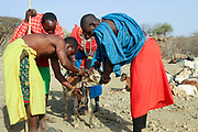 Samburu Maasai men bleed a cow to produce the Blood Milk they drink. Samburu Maasai an ethnic group of semi-nomadic people Photographed in Samburu, Kenya