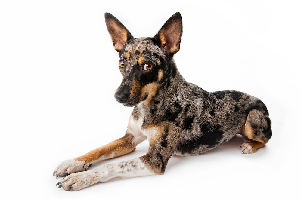 Studio portrait of a Cattle Dog, Blue Heeler, Australian shepherd mix rescue dog on white background.