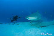 divemaster Charlie photographs a bull shark, Carcharhinus leucas, female in seasonal breeding aggregation, Playa del Carmen, Cancun, Quintana Roo, Yucatan Peninsula, Mexico ( Caribbean Sea )