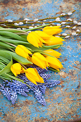 Cut spring flowers - tulips and grape hyacinths - ready to make into an arrangement. Distressed blue background