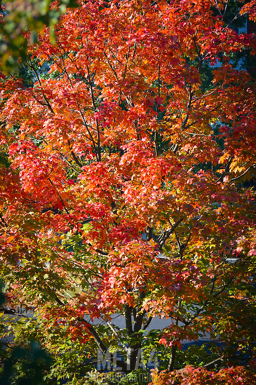 Colorful leaves reflect the autumn sunlight.