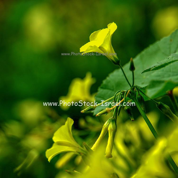 Selective focus Yellow wild flower in bloom