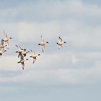 courtship flight pintail ducks flying wings open turing away