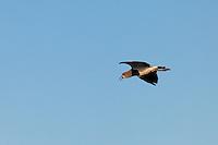 TERO COMUN O CHORLO DE ESPOLON (Vanellus chilensis) EN VUELO, CARMEN DE ARECO, PROVINCIA DE BUENOS AIRES, AREGNTINA