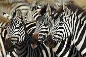 Africa Safari Stock Photos