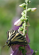Western Tiger Swallowtail Butterfly on foxglove near Baker Lake in the Mount Baker-Snoqualmie National Forest