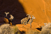 A nevada bighorn sheep herd along the colorful petrified sand dunes that create the unique landscape of Valley of Fire state park in Southern Nevada about 2 hours outside of Las Vegas.