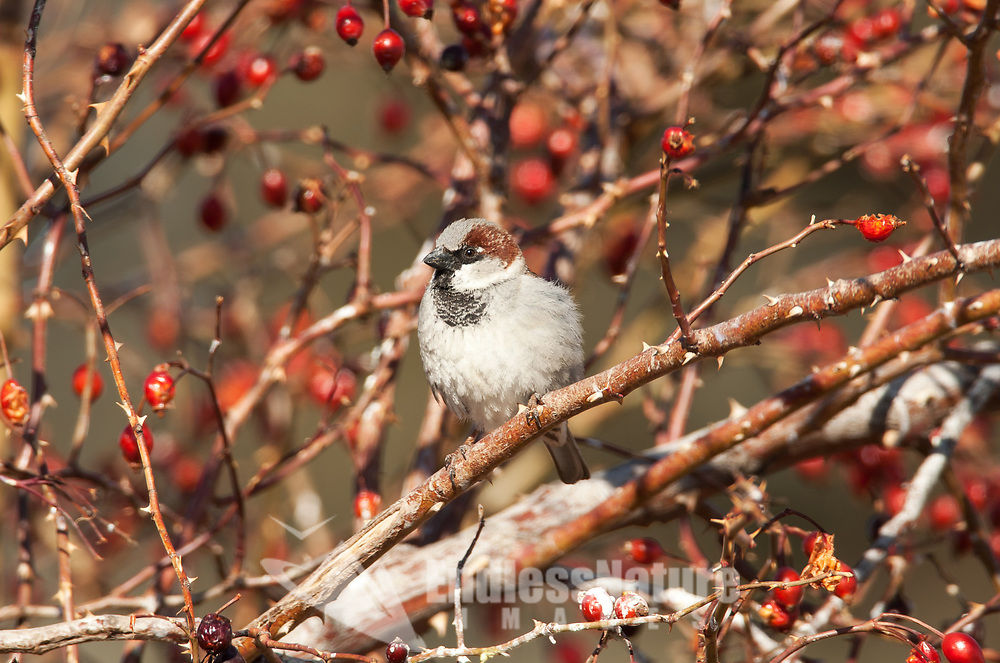 A male House Sparrow fluffed up gathers in the warmth of the sun perched on a rose bush branch.