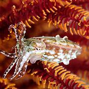 Juvenile Cuttlefish Sepiidae sp. at Lembeh Straits, Indonesia.
